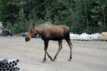 Eine Elchkuh in Denali im National Park