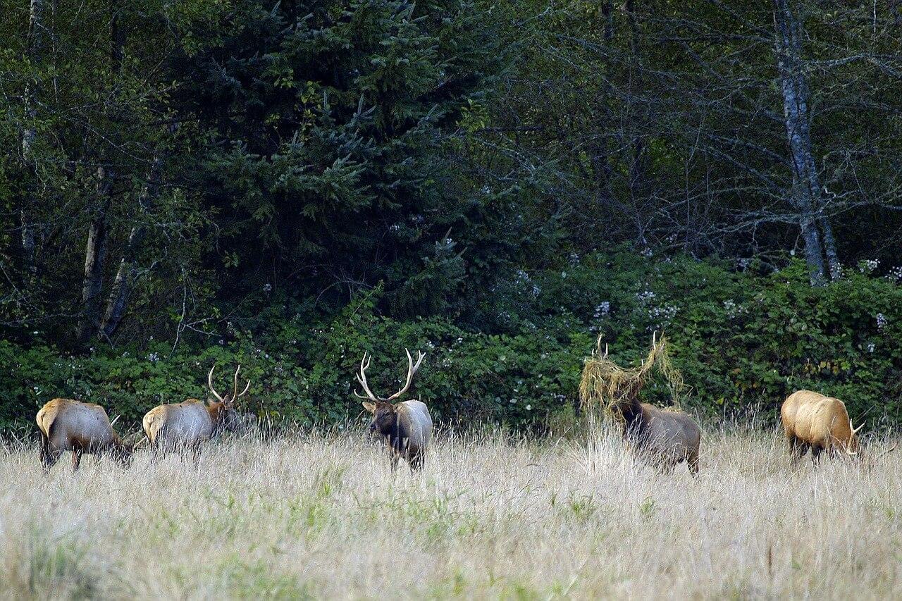 Eine Herde Elche auf einer Wiese am Weiden