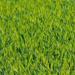 Eine grüne Wiese