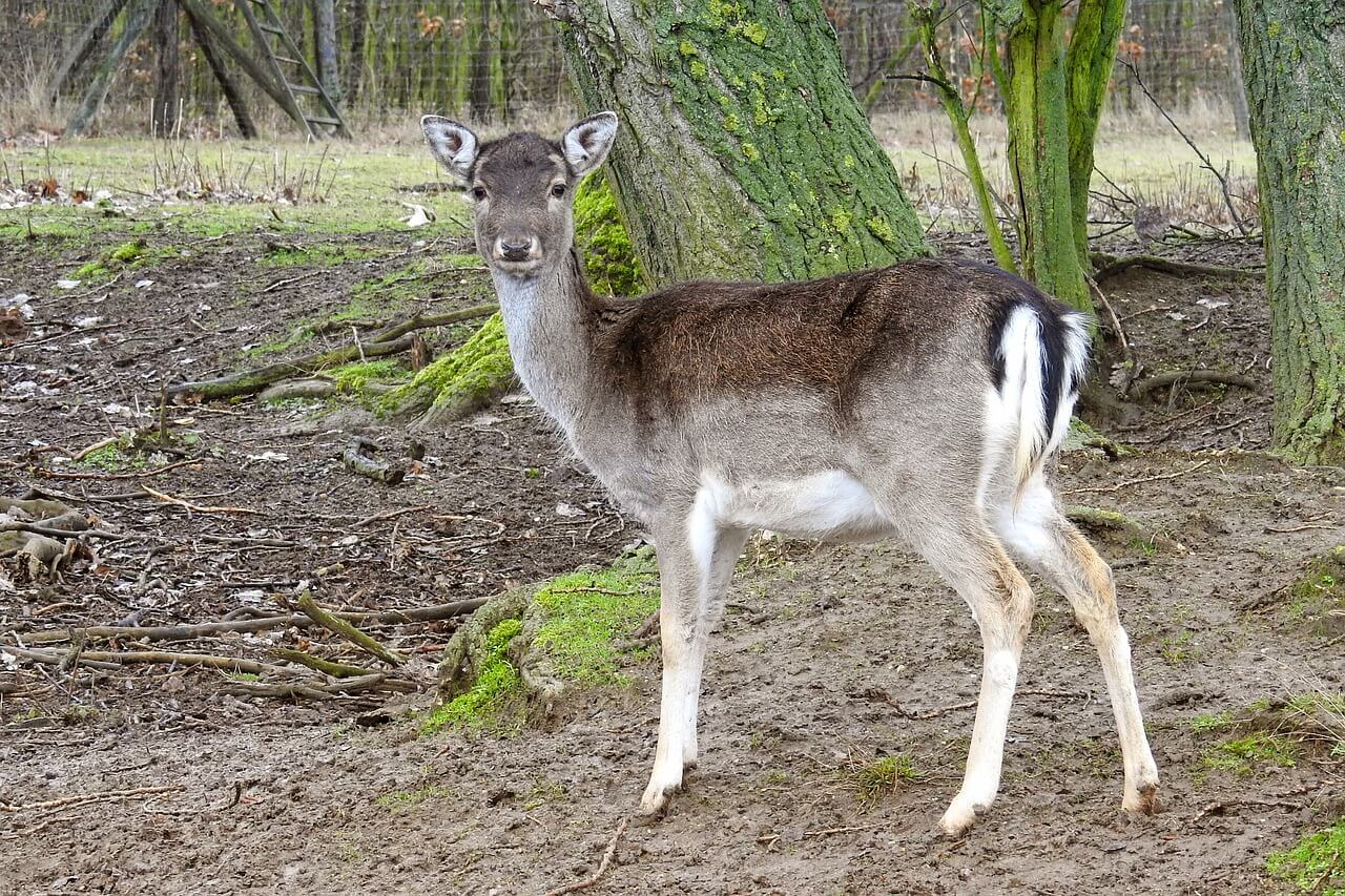 Ein Damtier in der Nähe eines Waldgebietes