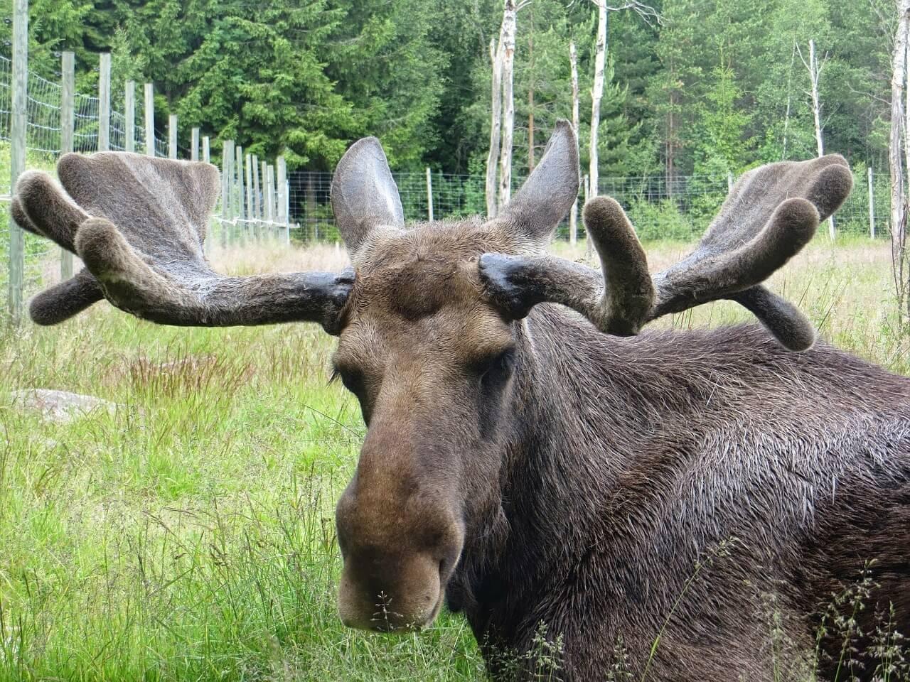 Ein Elch in Schweden mitten im Bast